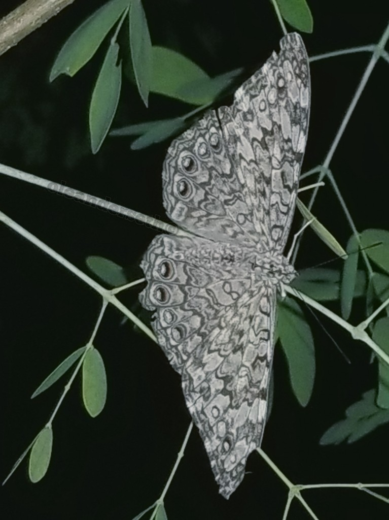 Gray Cracker Butterfly