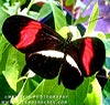 Rare Butterfly - Erato Heliconian